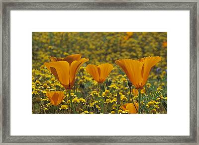 California Gold Framed Print