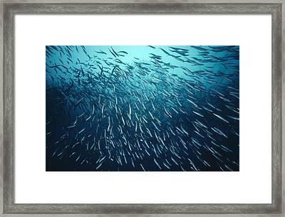 California Grunion Leuresthes Tenuis Framed Print