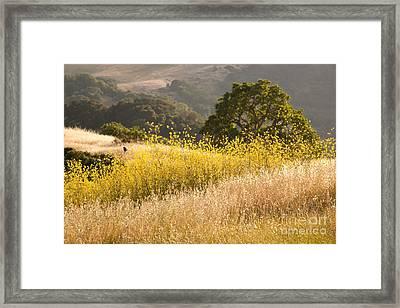California Mustard Fields Framed Print by Matt Tilghman