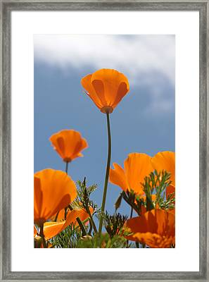 California Poppies Framed Print by Denice Breaux
