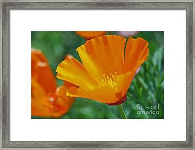 California Poppy Framed Print by Morgan Wright