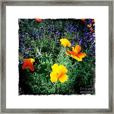 Framed Print featuring the photograph California Poppy by Nina Prommer