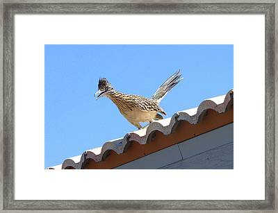 California Roadrunner Framed Print by Carla Parris