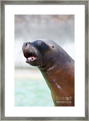 California Sea Lion Framed Print by Andrew  Michael