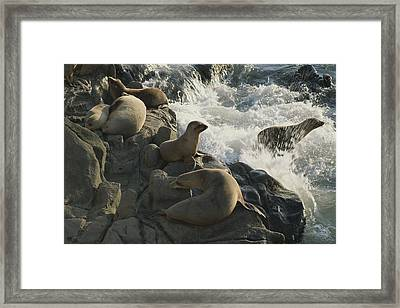California Sea Lions Bask On San Miguel Framed Print by James A. Sugar