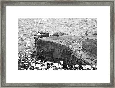 California Sea Lions Black And White La Jolla Shores San Diego  Framed Print by Sherry  Curry