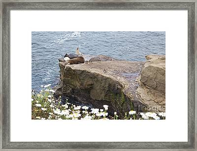 California Sea Lions Zalophus Californianus At La Jolla Shores Framed Print by Sherry  Curry