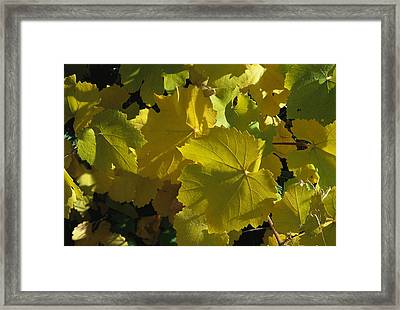 California Wild Grape Leaves Vitis Framed Print by Marc Moritsch