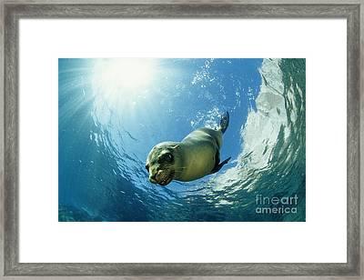 Californian Sea Lion Framed Print