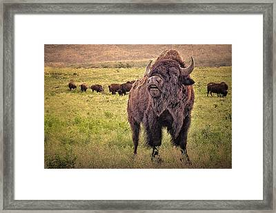 Call Of The Bison Framed Print by Tamyra Ayles