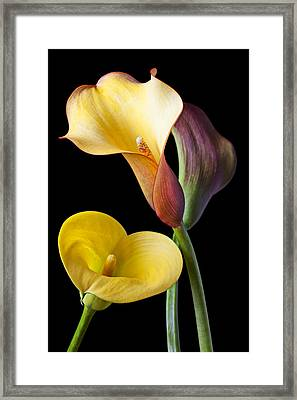 Calla Lilies Still Life Framed Print by Garry Gay