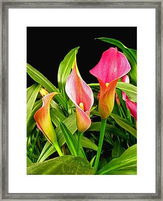 Calla Lillies Framed Print by Debbie Portwood