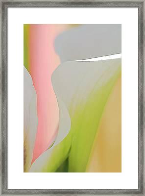 Calla Lily 1 Framed Print