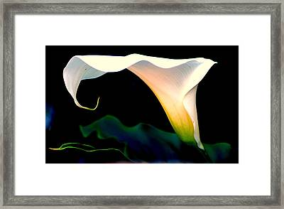 Calla Lily By  Framed Print