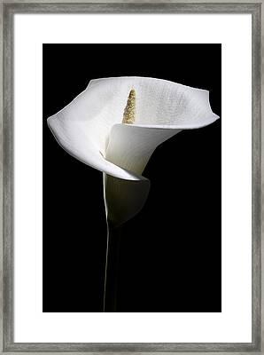 Calla Lily Framed Print by Nathaniel Kolby