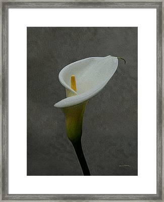 Calla Lily Painterly 2 Framed Print