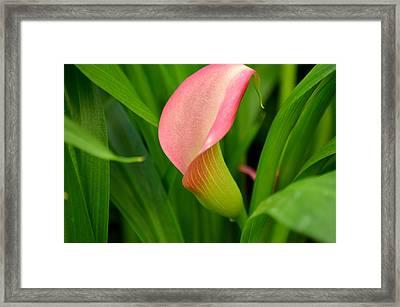 Calla Lily Rising Framed Print by Fraida Gutovich