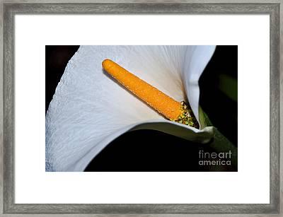 Calla Lily - Stamen Framed Print by Kaye Menner