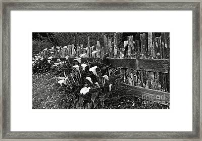 Calla Framed Print