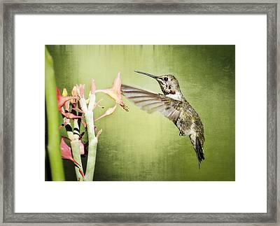Calliope Hummingbird  Framed Print by Saija  Lehtonen