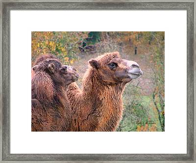 Calm Camels Framed Print
