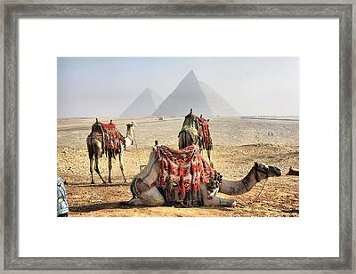 Camel And Pyramids, Caro, Egypt. Framed Print