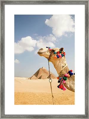 Camel In Desert With Pyramids Background Framed Print by Grant Faint
