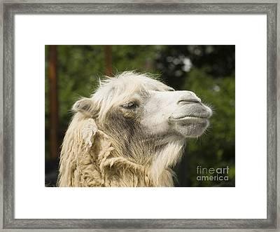 Camel Portrait Framed Print by Odon Czintos