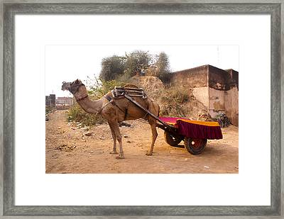 Framed Print featuring the photograph Camel Yoked To A Decorated Cart Meant For Carrying Passengers In India by Ashish Agarwal