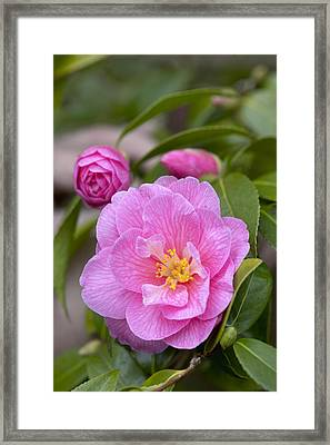 Camellia Camellia X Williamsii Donation Framed Print by VisionsPictures
