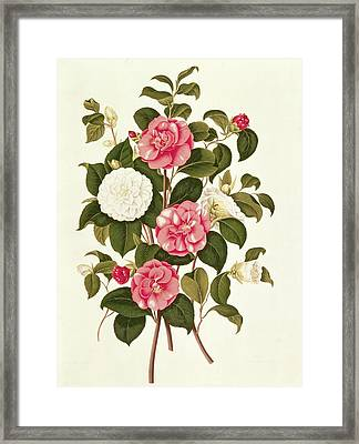Camellia Framed Print by English School