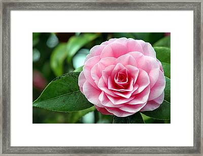 Camellia Flower (camellia Japonica) Framed Print by Dr Keith Wheeler
