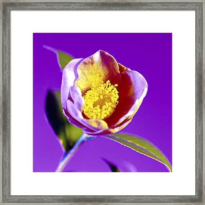 Camellia Flower (camellia Sp.) Framed Print by Johnny Greig
