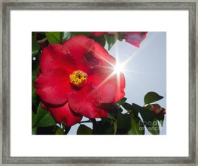 Camellia Flower Framed Print by Mats Silvan