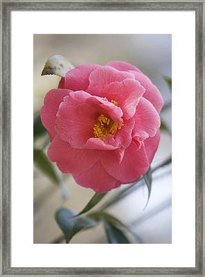 Camellia Japonica Framed Print by Maria Mosolova