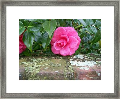 Camellia On Wall Framed Print by Larry Bishop