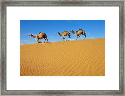 Camels Walking On Sand Dunes Framed Print