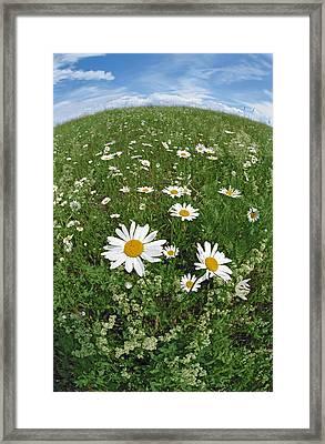Camomiles Framed Print by Pavel  Filatov