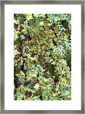 Camouflaged Vietnamese Mossy Tree Frog Framed Print by John Pitcher