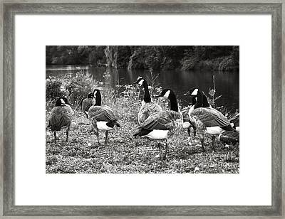 Canada Geese Framed Print by Blink Images