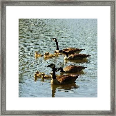 Canada Geese Families Framed Print by Mark Codington