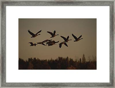 Canada Geese Fly In A Group Framed Print