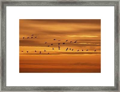 Canada Geese, Oak Hammock Marsh Framed Print
