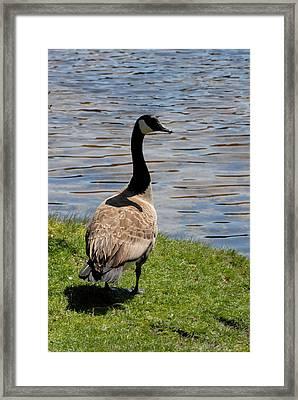 Canada Goose 153 Framed Print by Joyce StJames