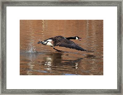 Canada Goose Above Pond - C0174d Framed Print by Paul Lyndon Phillips