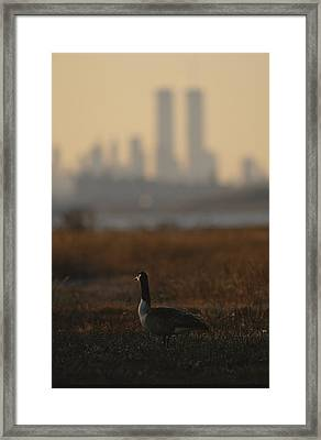Canada Goose Branta Canadensis And Hazy Framed Print by Raymond Gehman
