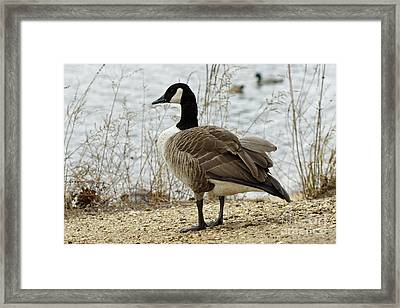 Canada Goose Framed Print by Denise Pohl
