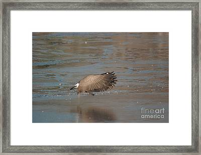 Framed Print featuring the photograph Canada Goose In Flight by Mark McReynolds