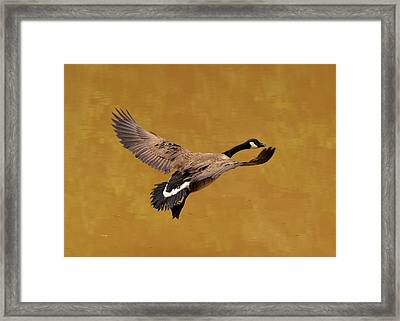 Canada Goose In Landing Approach  - C4557b Framed Print by Paul Lyndon Phillips