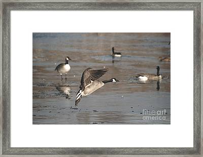 Framed Print featuring the photograph Canada Goose In Mid-flight by Mark McReynolds
